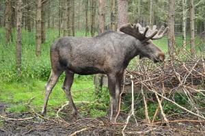 moose-1041035_640_ideescheibe
